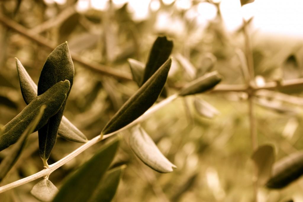 olives @ Arceno